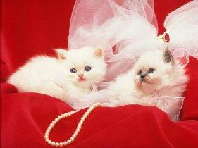 2 chats de luxe sur fond rouge