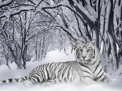 400_1198471188_tigra-blanco-en-la-nieve