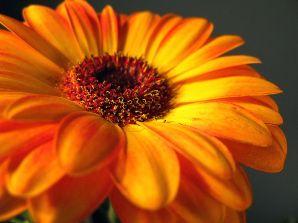 798px-Orange_Gerbera_Daisy