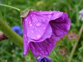 7art-00016_wet-violet-flower