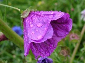 7art-00016_wet-violet-flower
